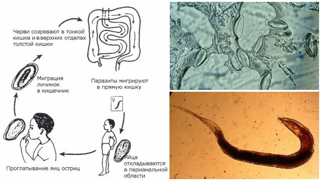 Цикл развития паразита