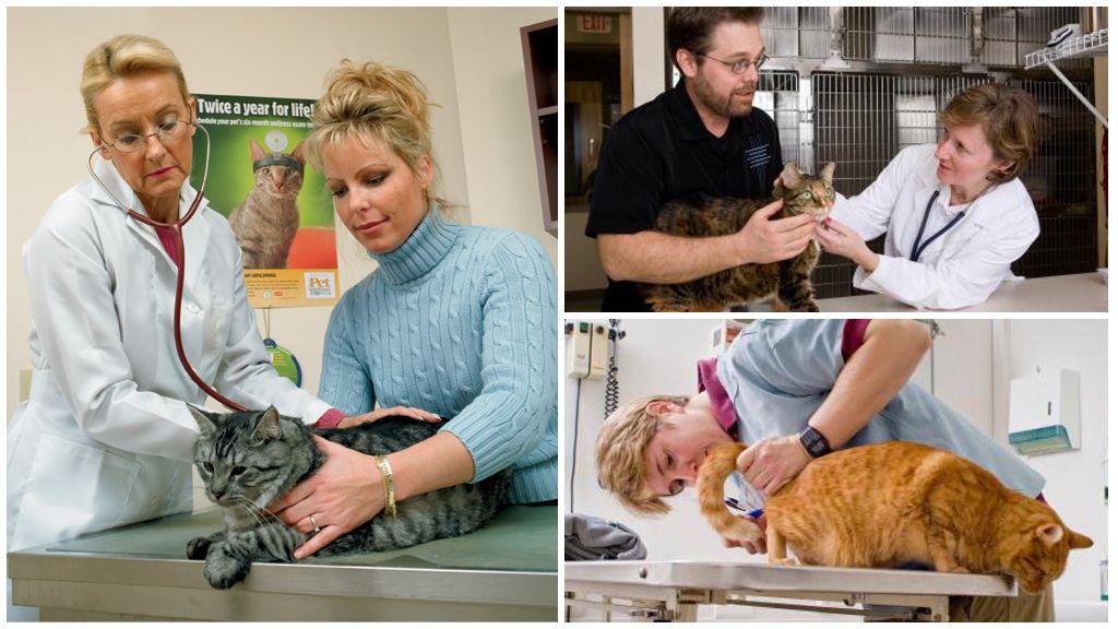 Осмотр кошки у врача