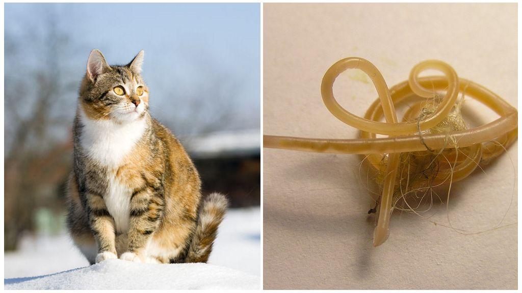 Глисты у беременной кошки
