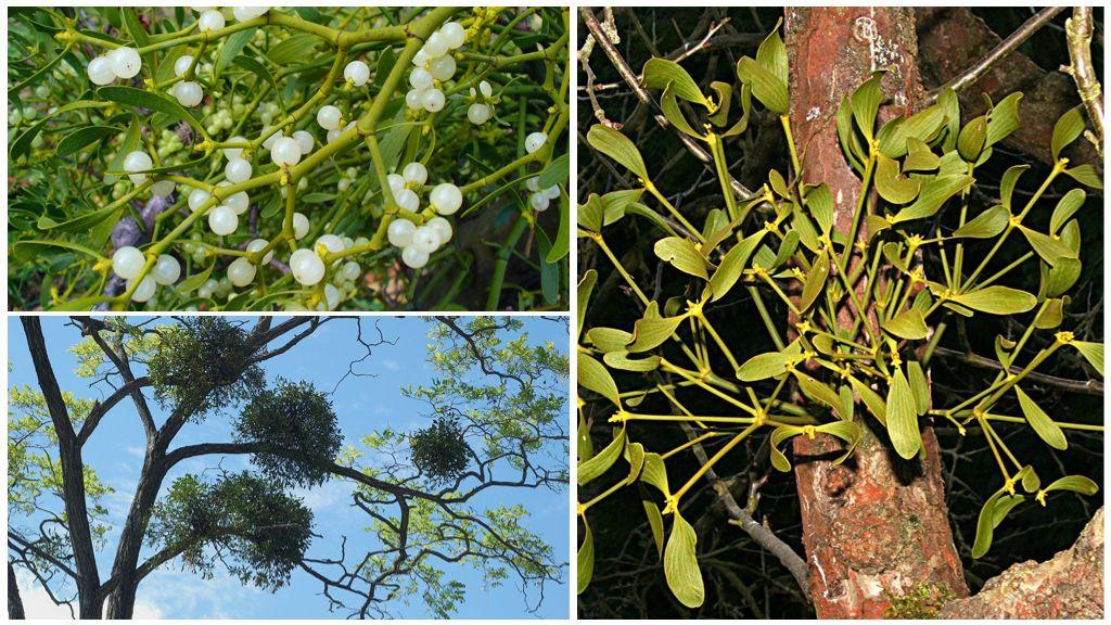 Растение-паразит омела