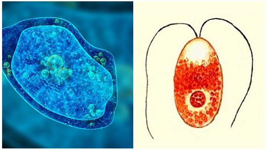 Дизентерийная амеба и малярийный плазмодий