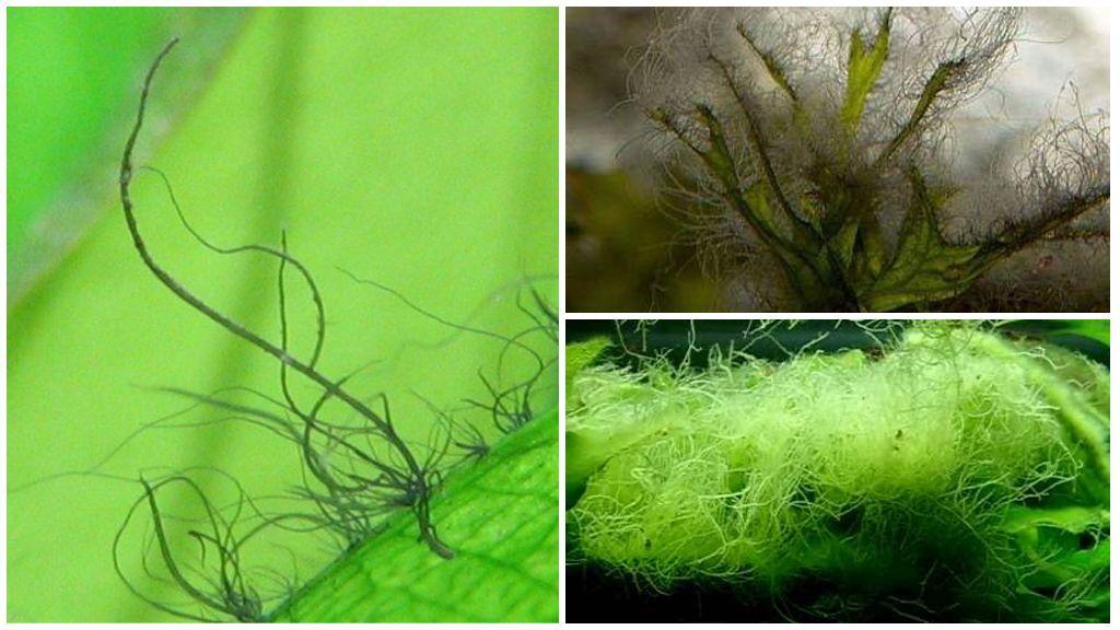 Багряные водоросли – «вьетнамка»