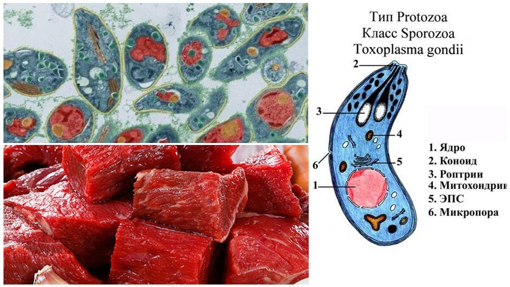 Токсоплазмы в мясе