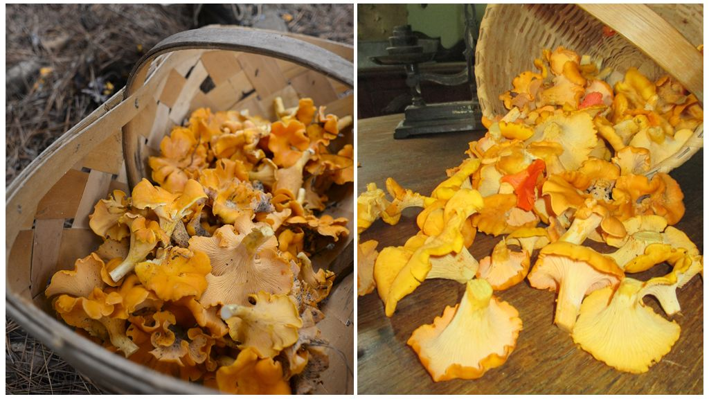 Заготовка грибов лисичек