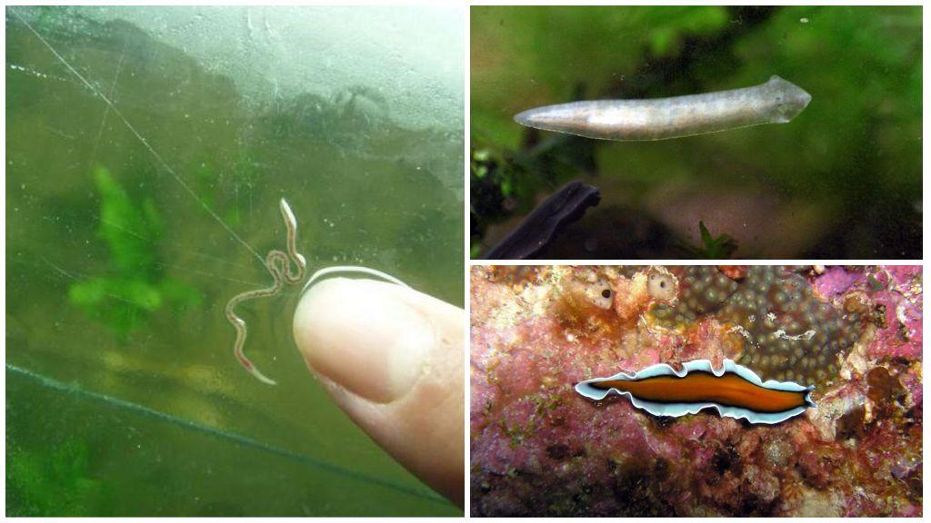 Виды аквариумных червей
