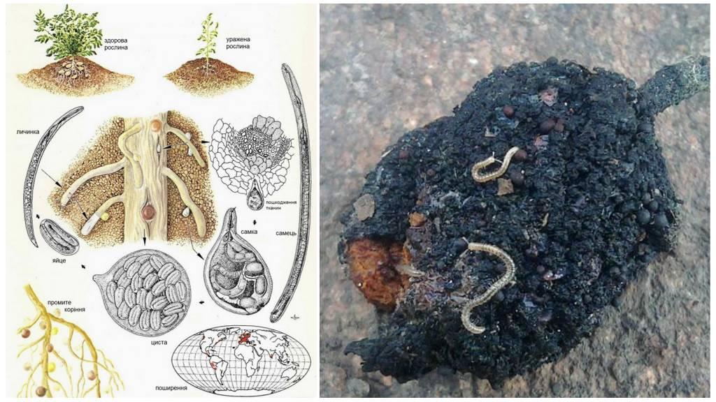 Жизненный цикл земляной нематоды