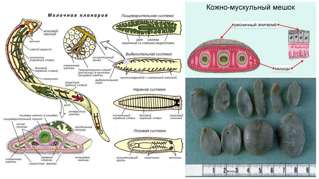 Строение ленточных червей