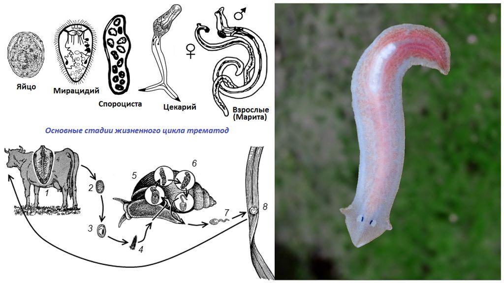 Жизненный цикл плоских червей
