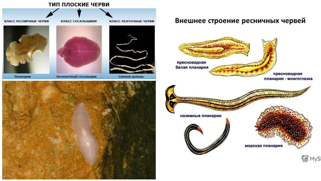 Внешнее строение плоских червей