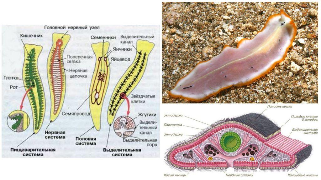 Внутреннее строение плоских червей