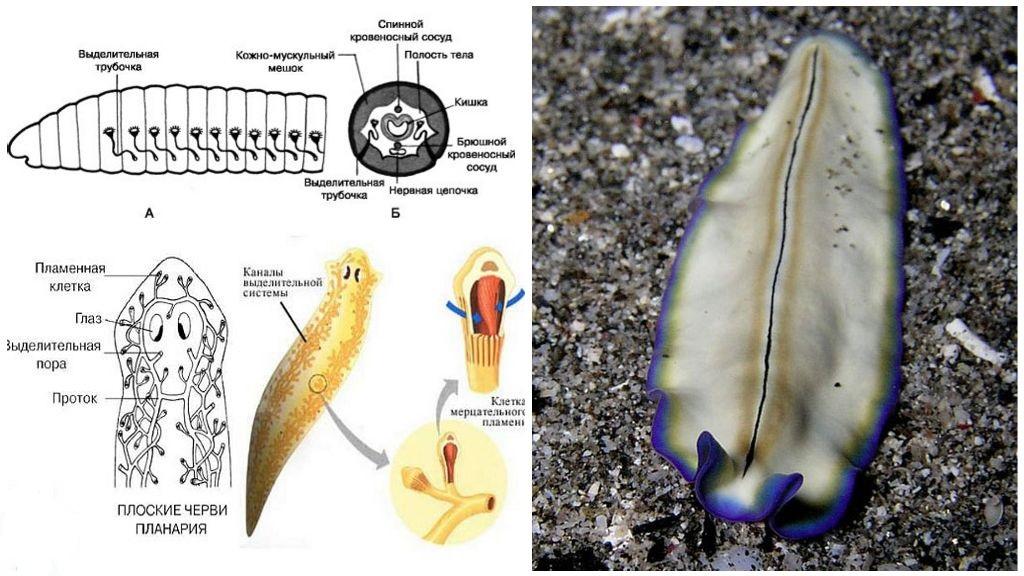 Выделительная система плоских червей