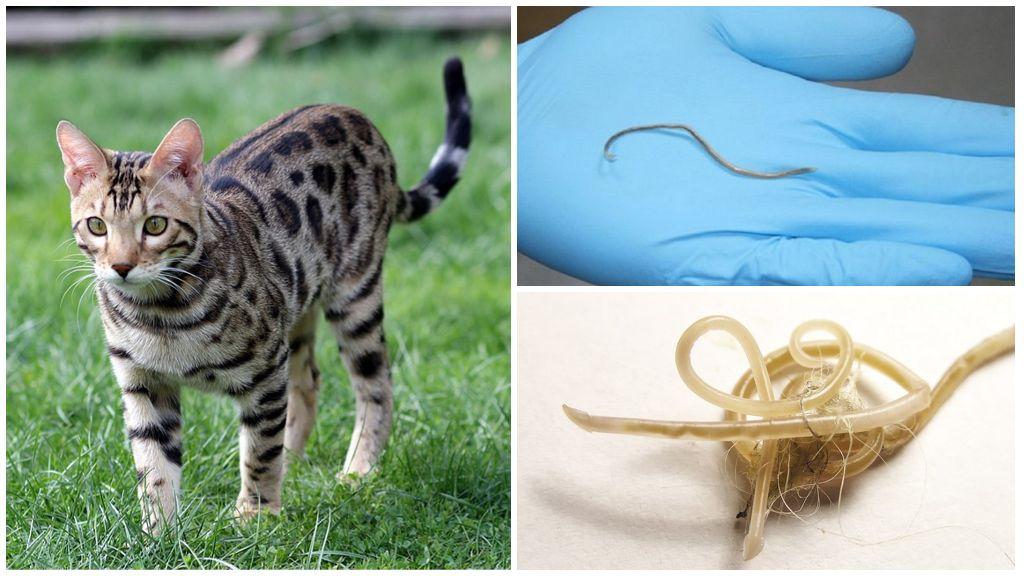 Симптомы и лечение аскаридоза у кошек