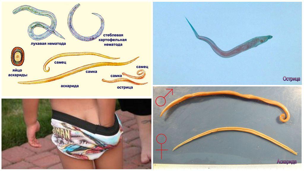 Отличия аскарид от остриц и других глистов