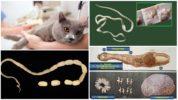 Цестоды у кошек