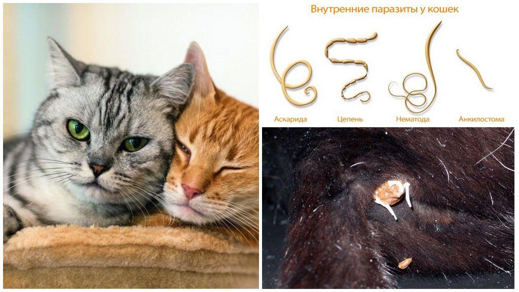 Как выглядят кошачьи глисты фото