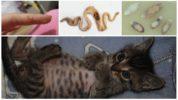 Глисты у котенка