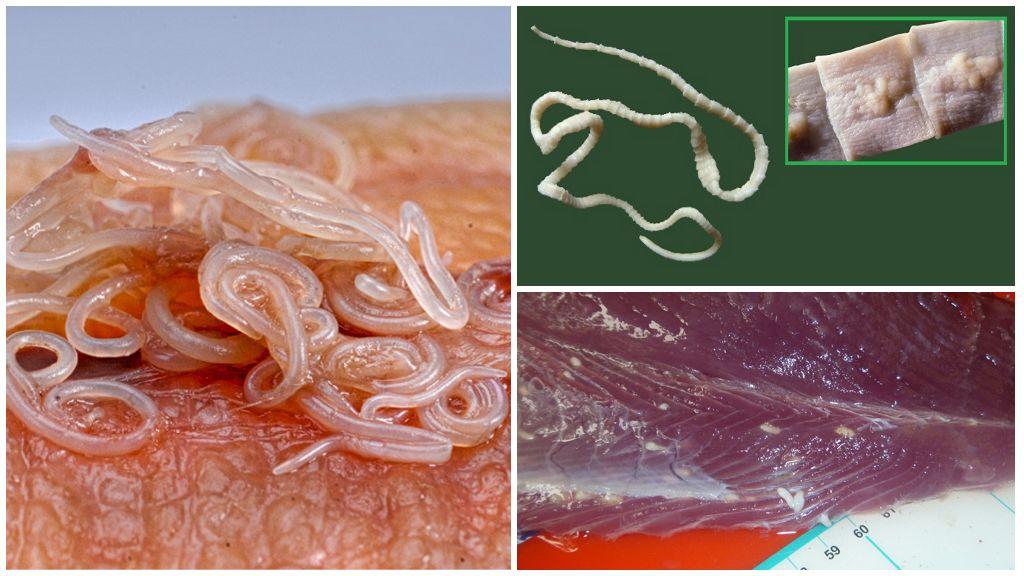 Анизакиды и широкий лентец в морской рыбе