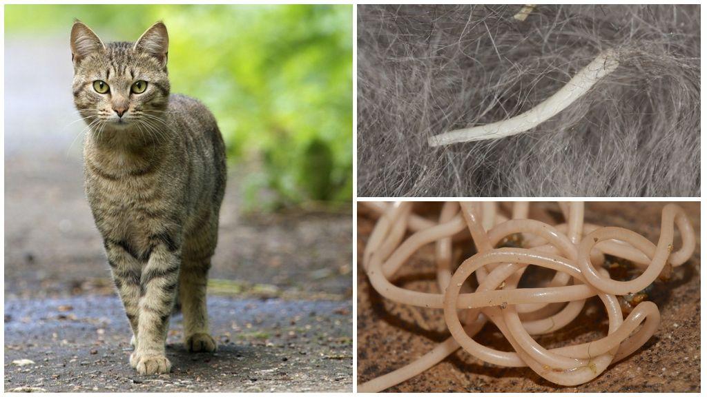 Признаки и лечение глистов у кошек и котов