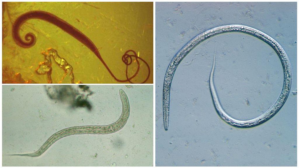 Паразиты рода Camallanus у аквариумных рыбок