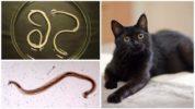 Нематоды у кошки