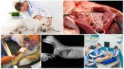 Обследование собаки при дирофиляриозе