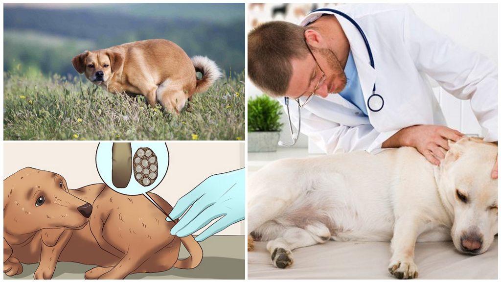 Осмотр собаки на наличие глистов