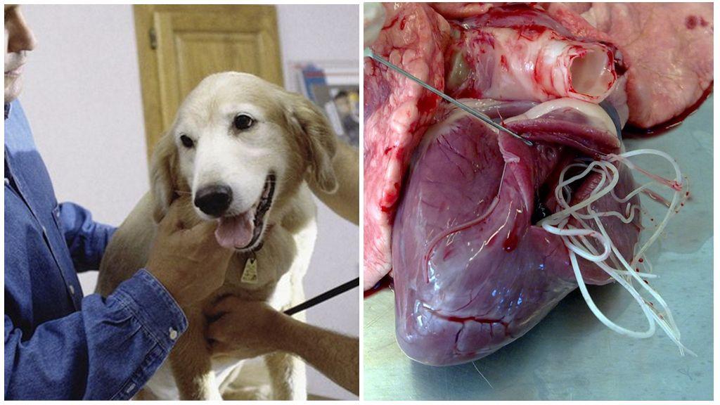 Симптомы и лечение сердечных глистов у собак