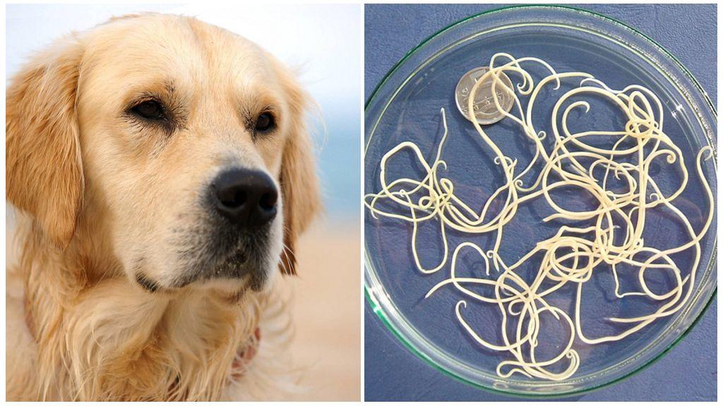 Признаки и лечение глистов у собак