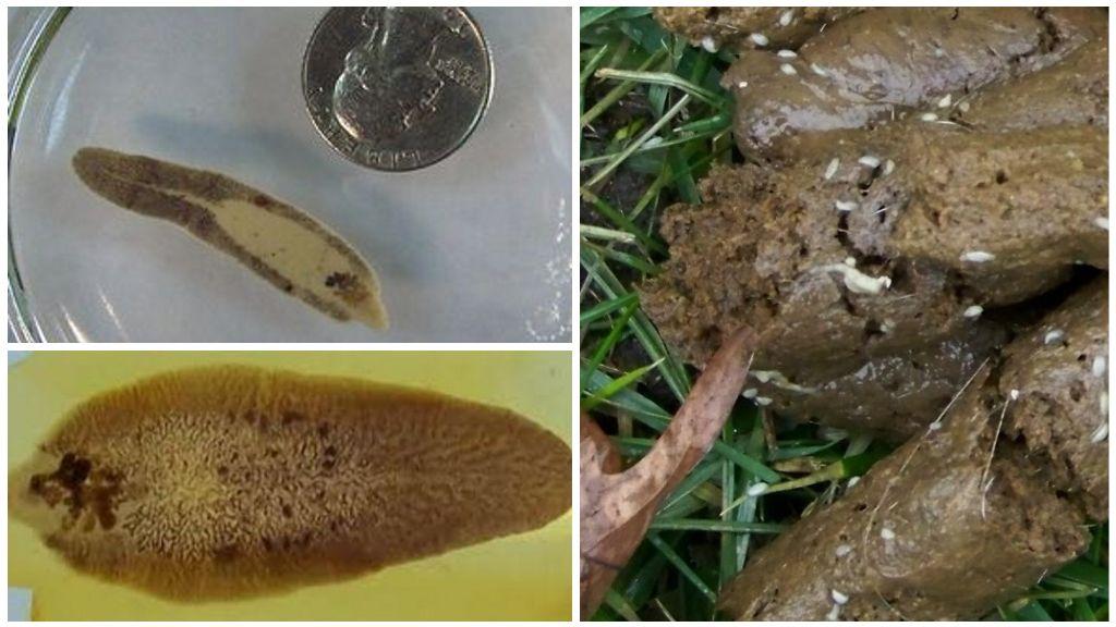 Трематоды в кале