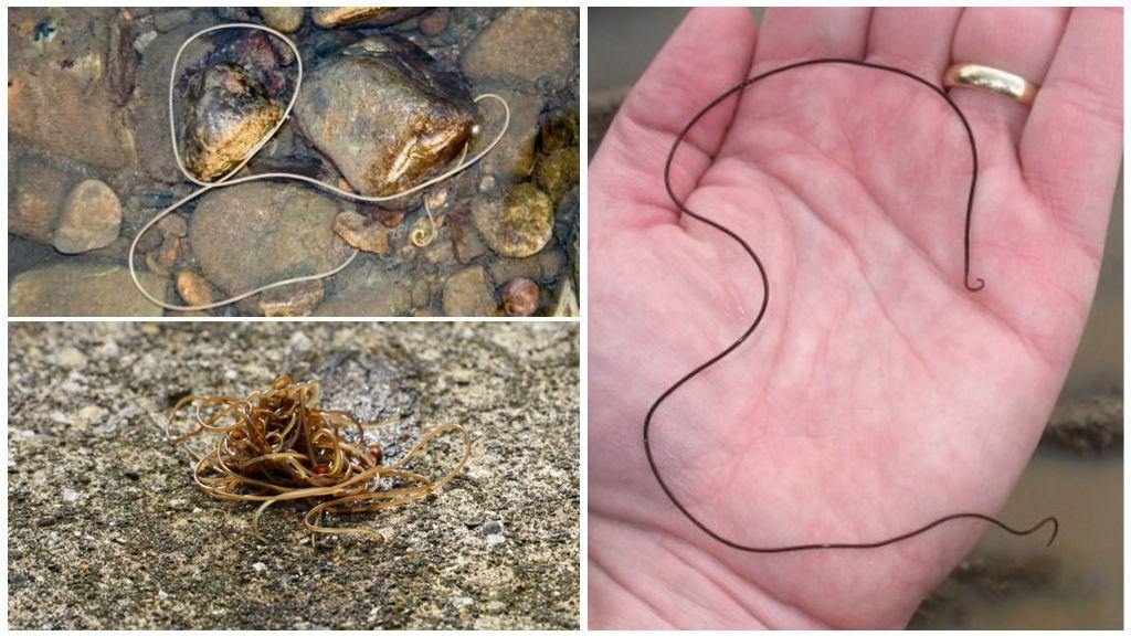 Описание и фото паразита конский волос