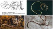 Жизненный цикл паразита конский волос