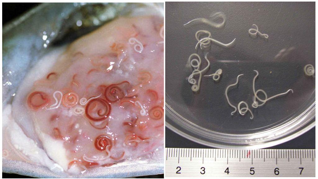 Анизакиды и тресковый червь