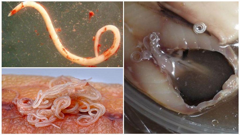 Анизакиды в рыбе