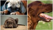 Побочные эффекты Диронета для собак