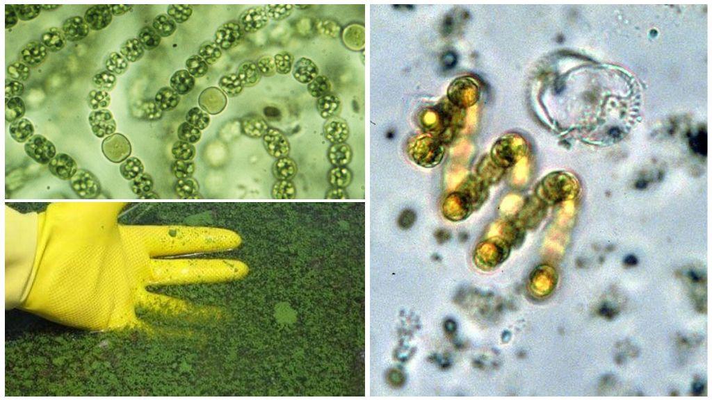 Сине-зеленые водоросли Cyanobacteria