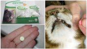 Применение Цестала кэт для кошек