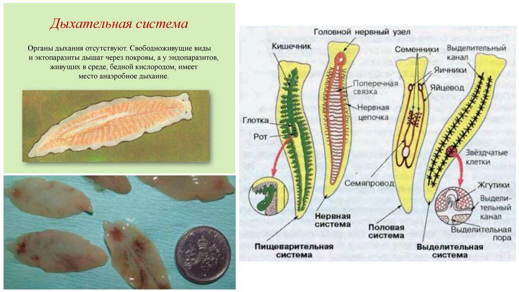 Дыхательная система у плоских червей