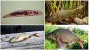 Описторхоз в рыбе
