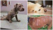 Аллергия у собак на Пирантел
