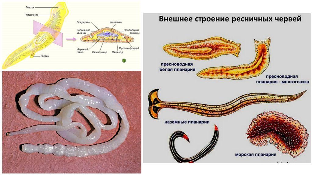 Общая характеристика плоских червей