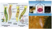 Строение плоских червей