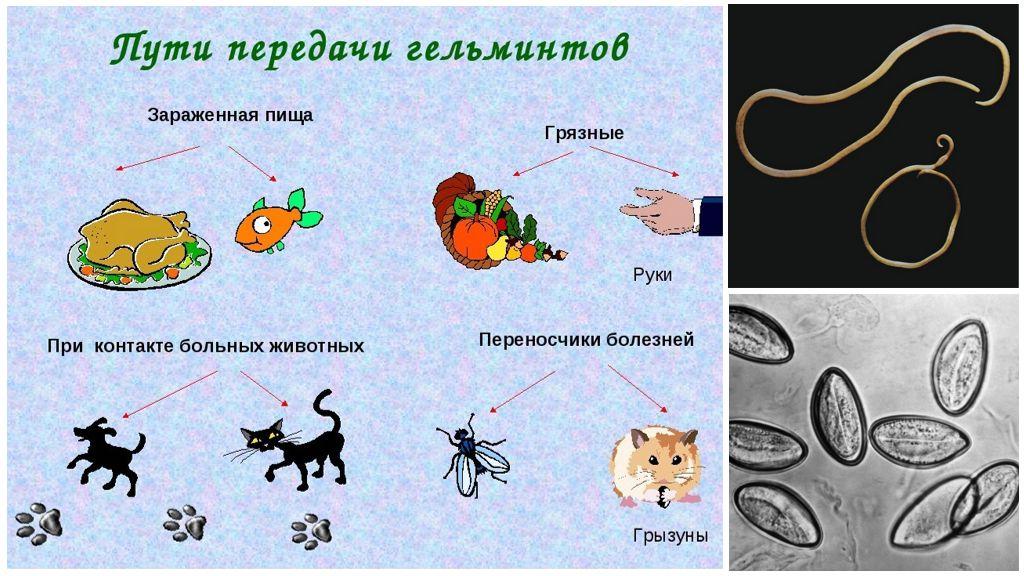Пути передачи гельминтозов