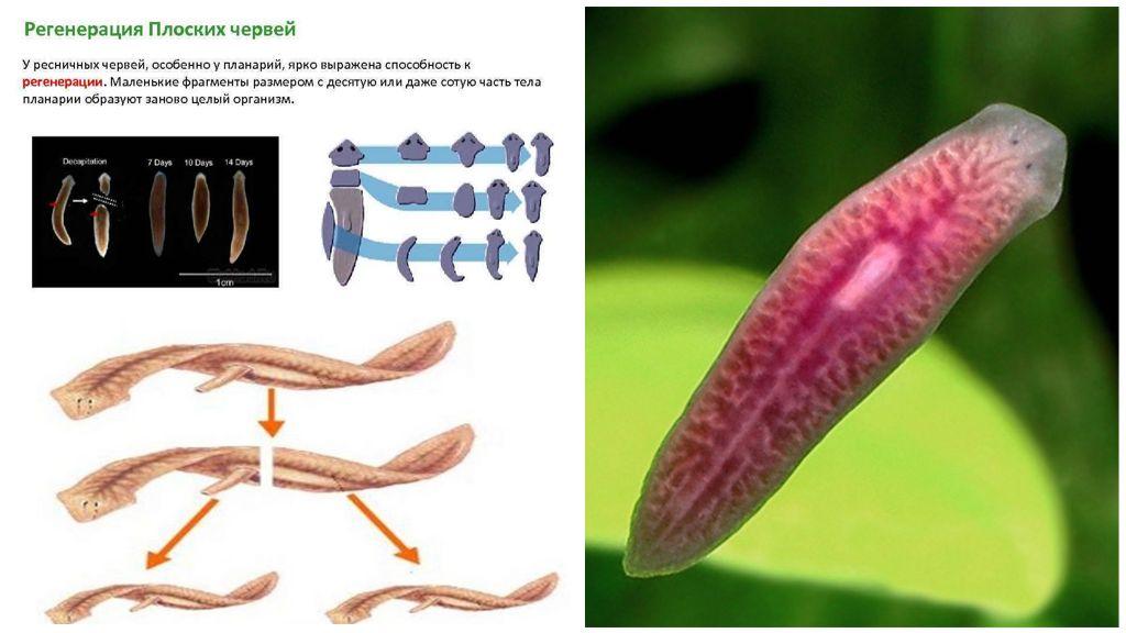 Размножение и половая система плоских червей