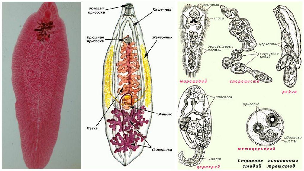Размножение плоских червей класса Сосальщики