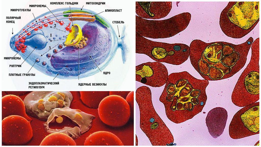 Малярийный плазмодий