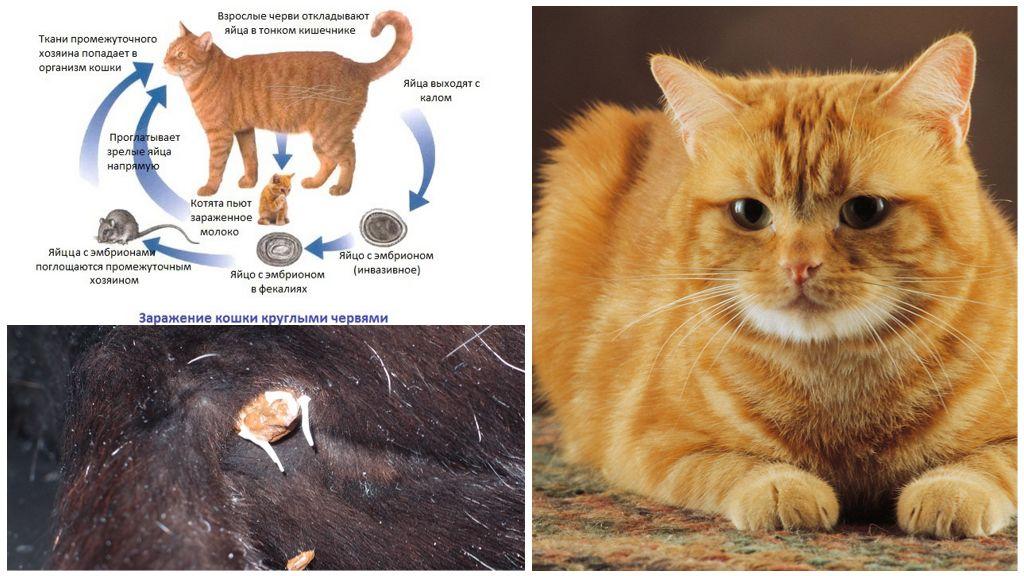 Лечение нематоды у кошек
