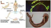 Жизненный цикл кровяного сосальщика
