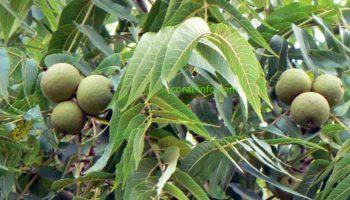 Лист черного ореха: ценные свойства, особенности применения